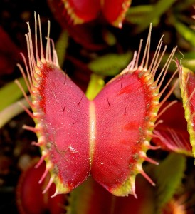 Venus Fly Trap close-up