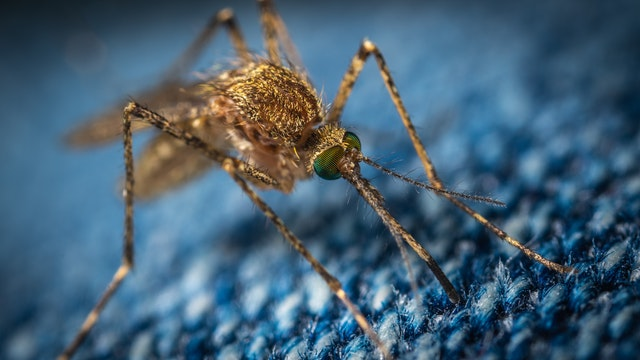 Mosquito image of pinching through jeans.
